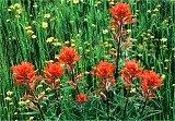 flowers, Indian Paintbrush, California Goldfields