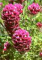 flower, Owl's Clover, California